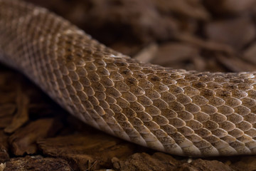 Portrait close up of rattlesnake,background Reptile