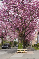 The street in the valley of which trees grow with a beautiful blossoming cherry blossom, a beautiful spring landscape