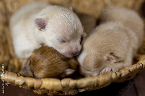 Newborn Puppy Of Spitz Pomeranian Babies In Baskets Stock Photo