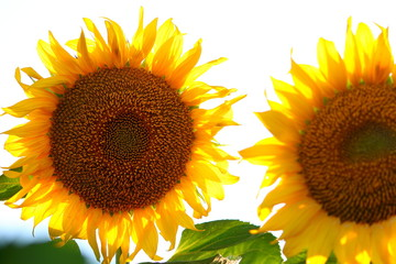 Two sunflowers against backlight