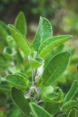sage herb biological agriculture - vintage style photo