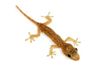 Baby lizard or gecko