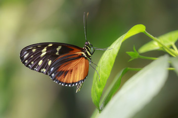 Golden heliconian, Heliconius hecale, the tiger longwing, Hecale longwing, golden longwing tropical butterfly