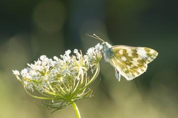 Eastern Bath white, Pontia edusa, butterfly