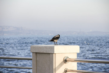 Picture of a hoodiecrow sitting on stakes at the seashore