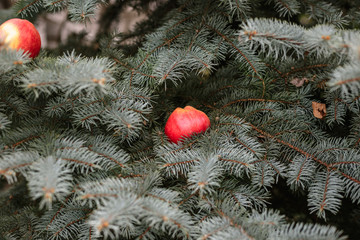 Apple on a spruce tree.