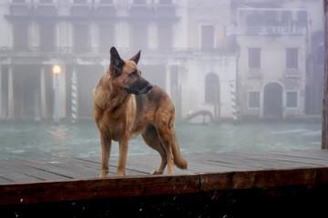 Ein Deutscher Schäferhund in Venedig