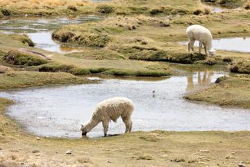 Alpaca in Andes