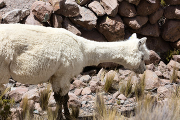Alpacas in Andes