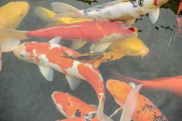 Feeding a wriggling shoal of hungry Koi Carps (Cyprinus carpio), colored red and white