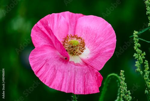 Pink Poppy Flower Stockfotos Und Lizenzfreie Bilder Auf Fotolia