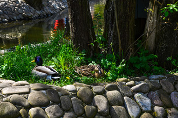 A pair of ducks sits on the canal in the park.