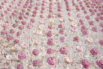 The lotus flowers are laid in rows.