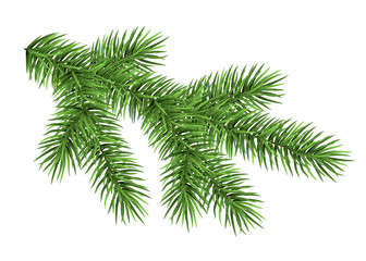 Spruce branch isolated on white background.