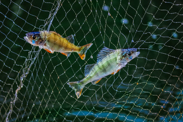 Two little fish in the fishing nets