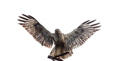 bird of prey, falcon