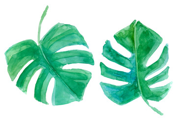 Tropical monstera leaves. Watercolor illustration