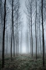 Tree plantation in fog
