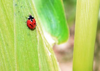 ladybug on corn leaf