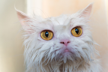 Close up wet persian cat eye. Wet cat. Cat after take a shower.