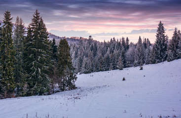 spruce forest on a snowy hillside at dusk