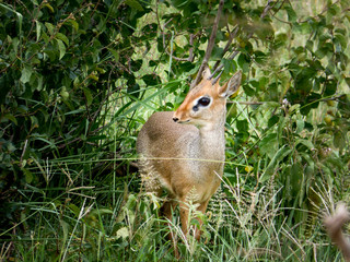 A dik dik antelope hides in the bushes. The world's smallest antelope.