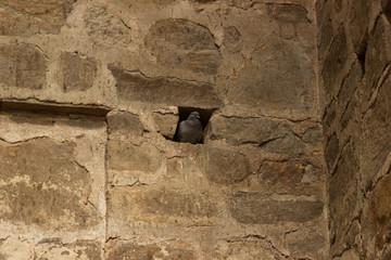 Taube in der Wand