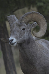 Bighorn Sheep Portrait