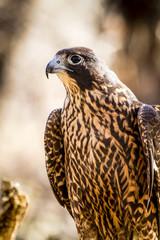Immature Peregrine Falcon sitting on tree stump
