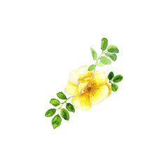 Botanical watercolor illustration sketch of yellow dogrose with on white