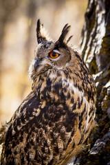 Eurasian Eagle Owl on tree branch