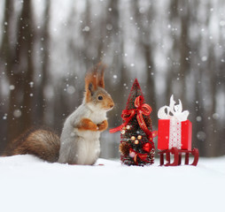 Red squirrel sits on the snow near small Christmas tree