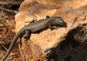 A dark lizard sitting on a stone