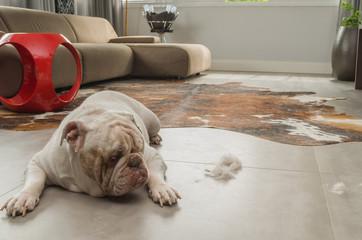 Sujeira de cachorro no chão, dog bulldog olhando para os pelos no piso
