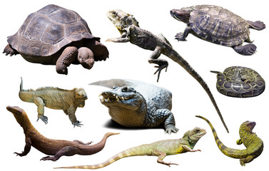 Wall Mural - reptiles isolated on white