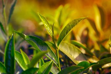Green tea leaves background bushes
