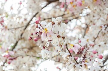 Cassia bakeriana flowers