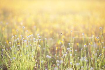 Eriocaulaceae flower background