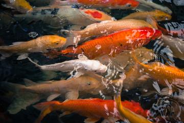 Colorful fancy carp fish