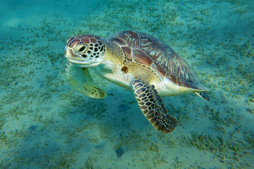 portrait of a turtle who floats in the sea
