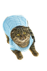 astonished Striped cat Scottish Fold in a knitted blue sweater lies on a white background. Cat in clothes. Winter mood