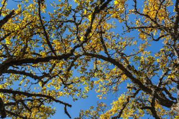 Ramas con hojas de roble en otoño y cielo azul. Quercus.
