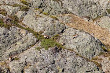 Rebaño de Cabras Montesas. Capra pyrenaica victoriae. Espacio Natural Sierra de Los Ancares.
