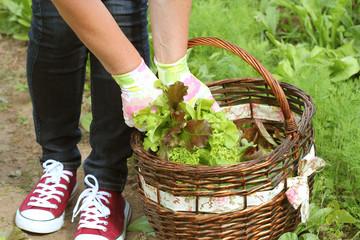 Aluminium Prints Picnic woman picking fresh lettuce from her garden .Lettuce put in a basket