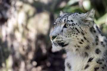 north chinese leopard close up