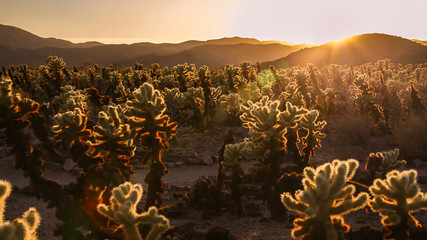Cactus in Death Valley NP at sunset