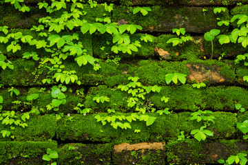 Green moss growing on old brick wall, Evergreen green moss at primitive forest located  Inthanon...