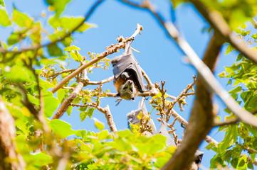 Flying fox or Australian fruit bat hanging on tree