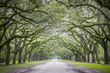 Quiet southern country road lined with oak trees with overhanging branches dripping with Spanish moss Wall mural