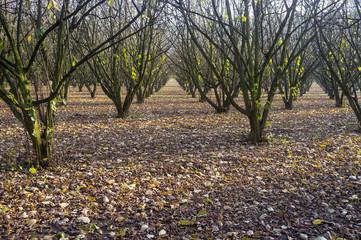 Langhe hazelnuts trees. Color image